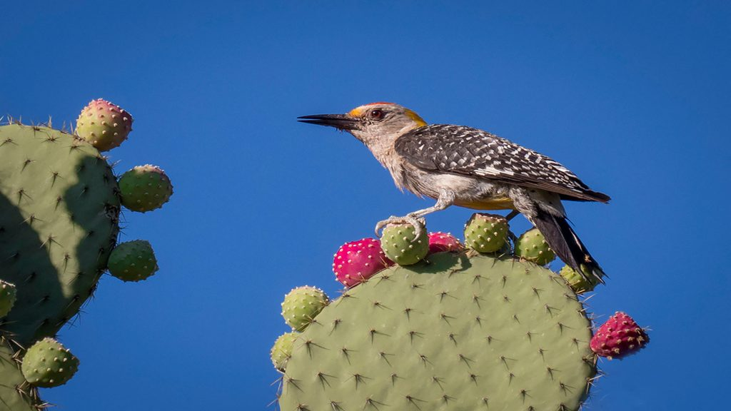 Golden-Fronted-Woodpecker-(2)